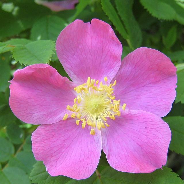 wild rose the wild rose is alberta 39 s provincial flower. Black Bedroom Furniture Sets. Home Design Ideas