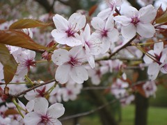 Prunus cerasifera | by James's GW Blog