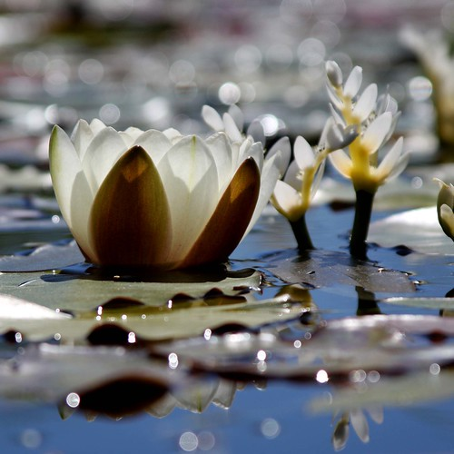 Water Lilies and Light | by tinyfroglet
