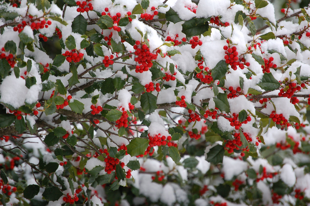 Snow Covered Holly Holly Tree In Bedford Virginia
