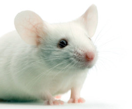white mouse white mouse in front of a white background flickr