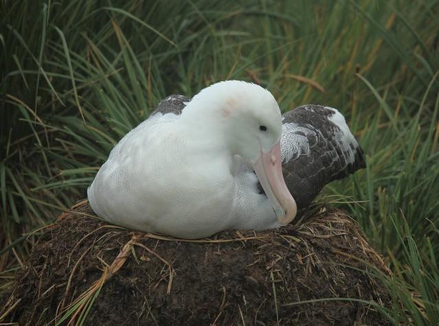 Wandering Albatross nest on Prion Island  South GeorgiaWandering Albatross Nest