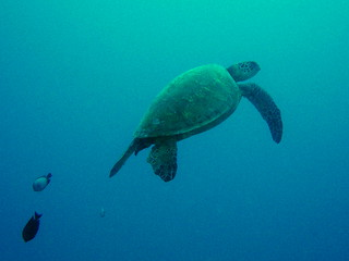 #416 honu = Hawaiian green sea turtle (ハワイアオウミガメ) | by Nemo's great uncle