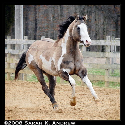 Pictures Of Grulla Paint Horses
