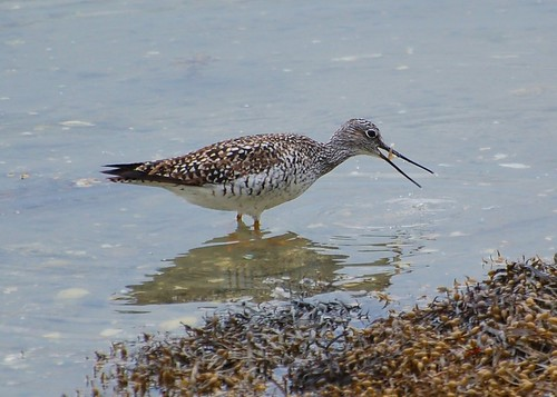 Greater Yellowlegs | by DaveMaherPhotos