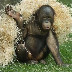 Playing Young Orangutan