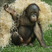 Playing Young Orangutan
