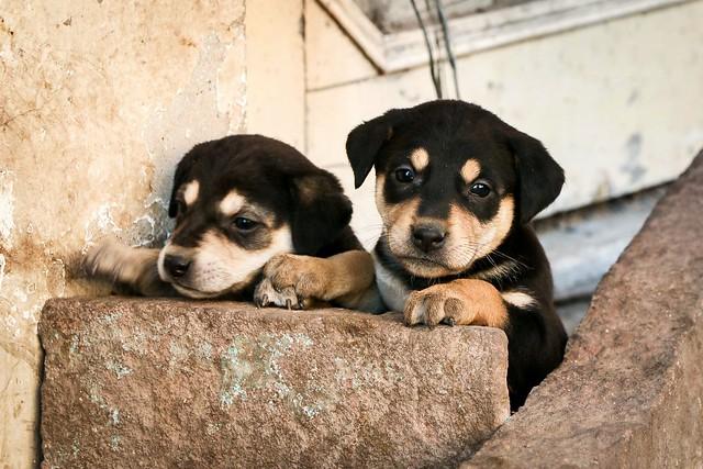 So cute dogs in an alley, Jodhpur, India ジョードプル 路地の超かわいい子犬たち