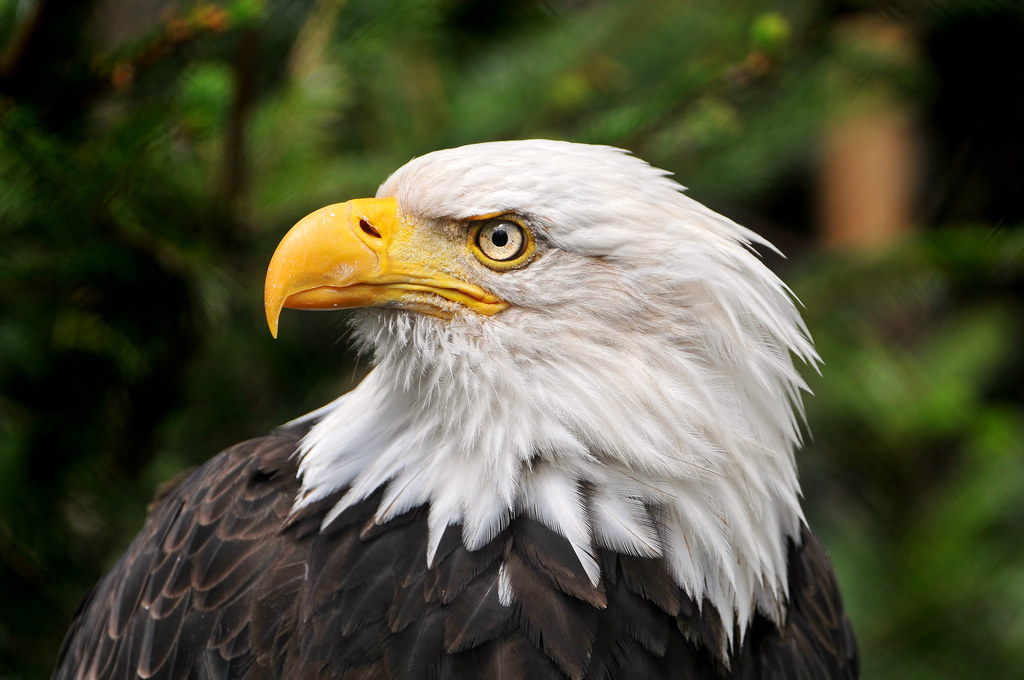 Symbol Of America Portrait Of A Bald Eagle This Bird Is O Flickr