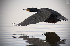 Cormorano (Phalacrocorax Carbo) | by FabioPACE