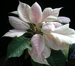 poinsettia / The journey | by sunshine's creations