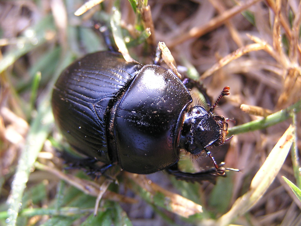 big black beetle with purplish hue | About 2.5 cm long ...