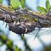 Cicada (Cacama valvata)