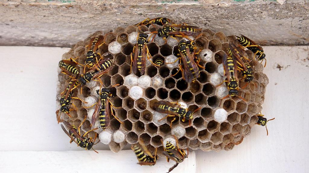 Wasps nest nid de gu pes jean paul gaillard flickr - Enlever nid de guepe ...