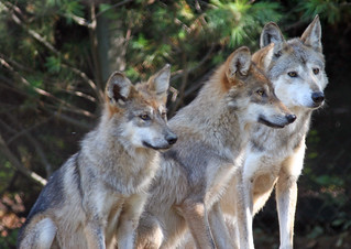 The three Mexican wolves! | by Connie Lemperle