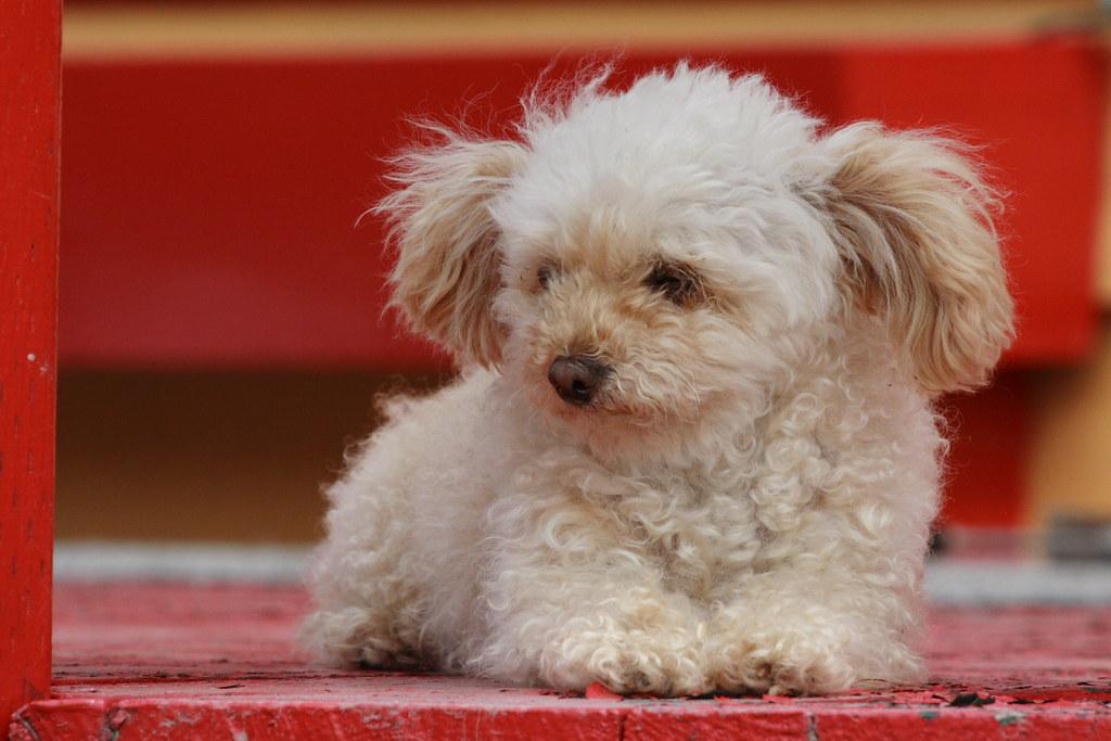 animal mignon petit chien - photo #27