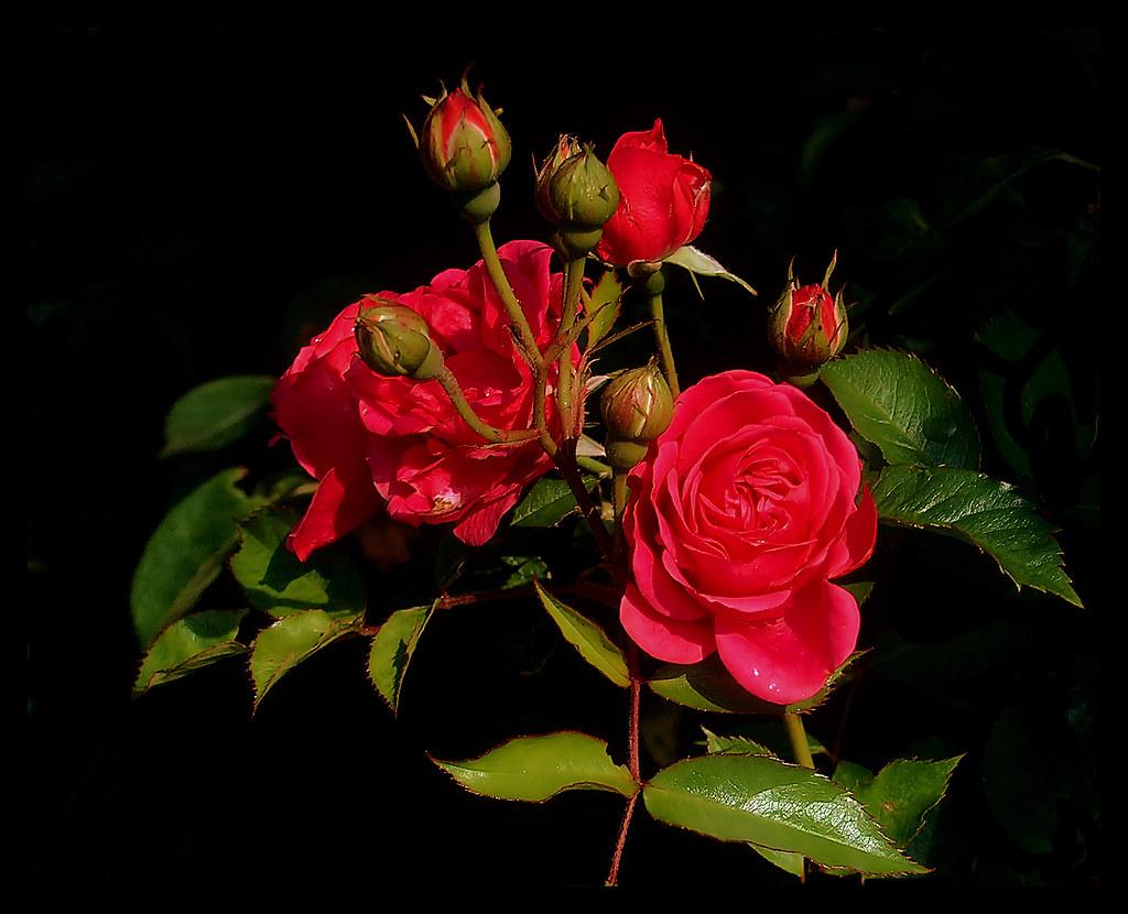lovely roses | elbfoto | flickr