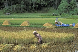 Harvesting crops from irrigated fields | by World Bank Photo Collection