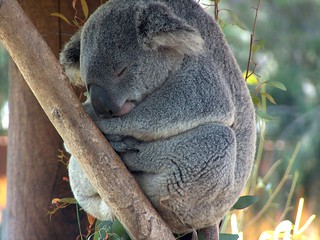 San Diego Zoo koala bear | by laura alise black