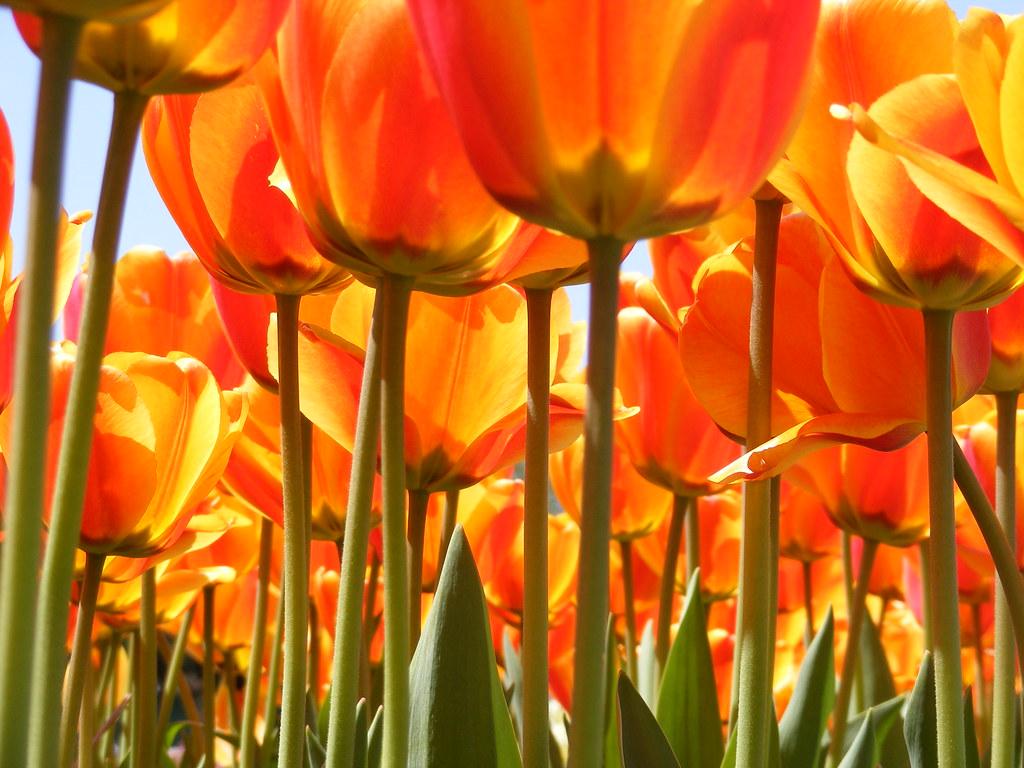 Holland Michigan Tulip Festival Glorybeme Flickr - Holland tulip festival