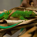 Madagascar day gecko / madagaskardaggekko (Phelsuma madagascariensis) - Exotic Reserve Peyrieras, Madagascar