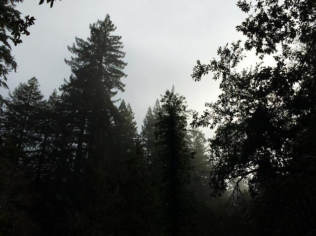 Portola Redwoods State Park, California, USA
