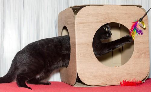 Morgana, gatita negra monísima, juguetona y tímida esterilizada, nacida en Julio´16, en adopción. Valencia. ADOPTADA. 32717413481_bf3e4ab972