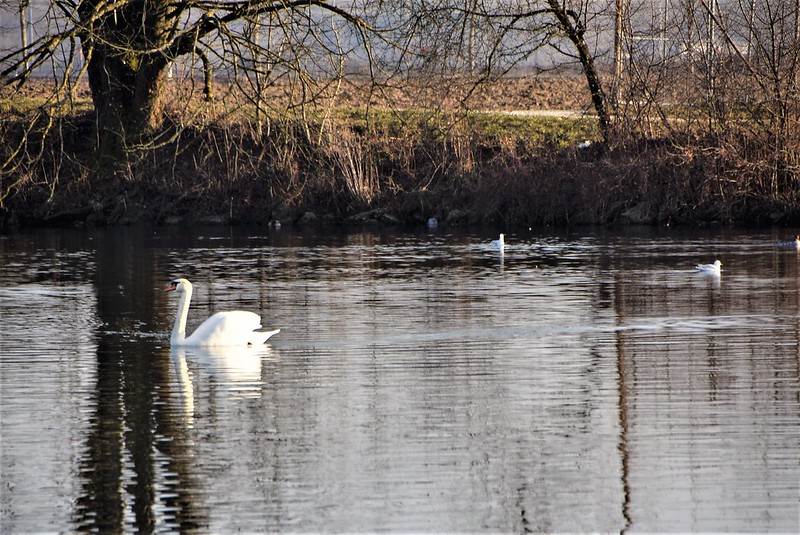Ducks and Swans 14.01 (7)
