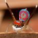 _MG_6813 peacock spider Maratus splendens