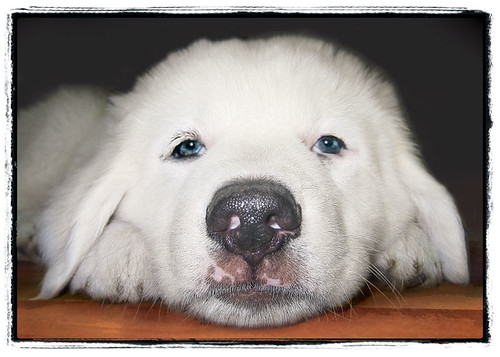 "Great Pyrenees Puppy ""Big Nose"" 
