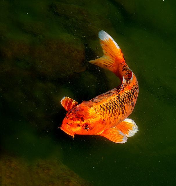 Koi bbmaui kauai hawaii this variety of koi is called for Carpe koi orange