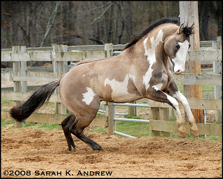 OH Justin Time: Silver Grullo Overo Paint Stallion | by Rock and Racehorses