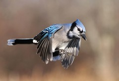 Blue Jay | by naturelover2007