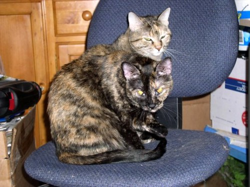 Grey And Orange >> The Amazing Two-Headed Cat!!! | Morgan and Chloe. Morgan ...