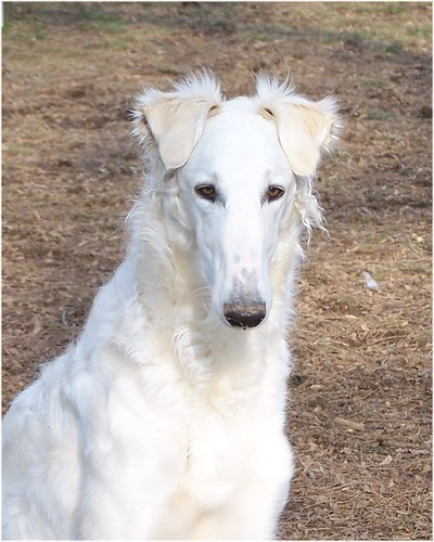 Myrra doing bonnet ears and with a very dirty nose | by Ferlinka Borzoi (Deb West)