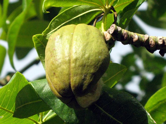 how to cook malabar chestnut