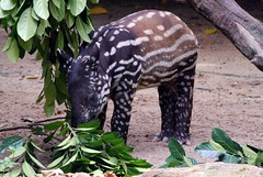 Walking Watermelon or Baby Tapir | by Lerotic