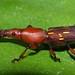 Brenthid beetle, Phuket, Thailand