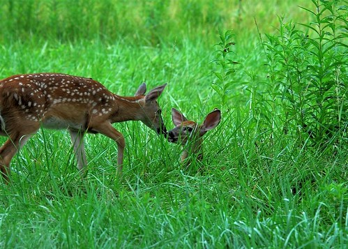 Fawns Kissing | by JRIDLEY1