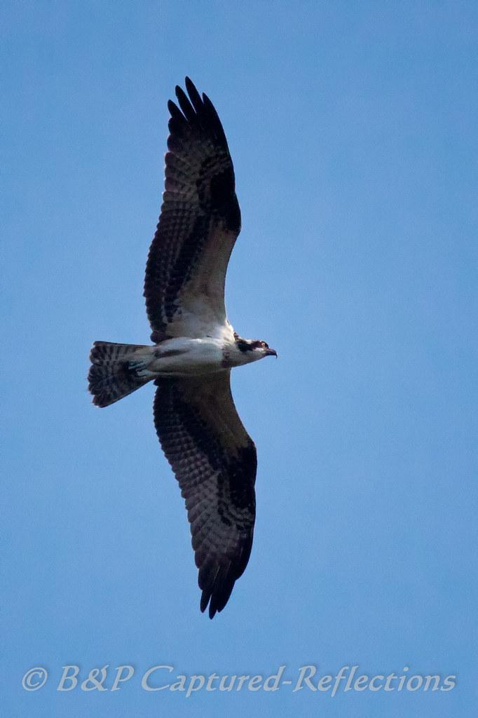 Osprey In Flight Hammock Park Dunedin Fl