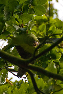 Green Parakeet's of Kew | by denovich