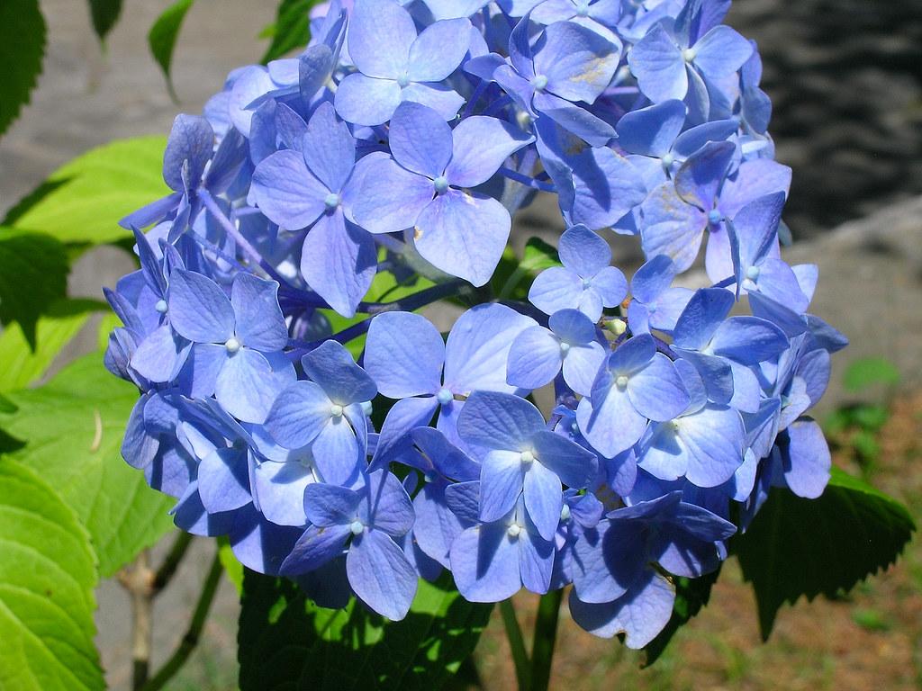 20060714 antoliva 002 ortensia blu renagrisa flickr - Ortensia blu ...