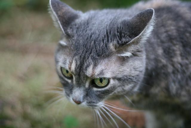 Tortoise Shell Cat | Flickr - Photo Sharing!