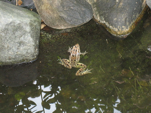 Frog in our Pond | by pelennor