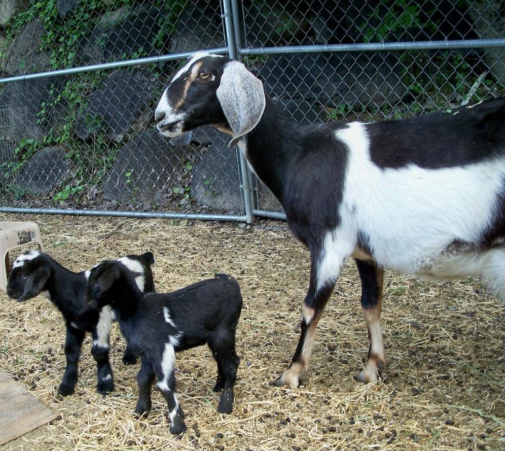 R Goats Goats. Mother Nubian w...