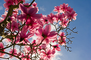 Magnolia Tree In Bloom | by PJ Taylor Photo