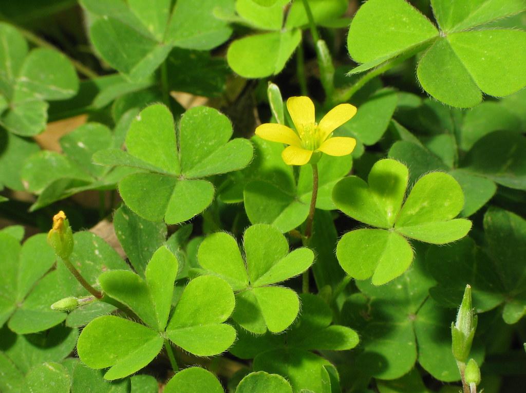 Shamrock flower oxalis stricta several species in the oxa flickr - Shamrock houseplant ...