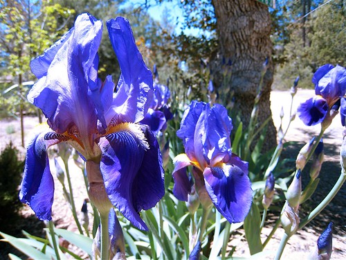 Iris Action | Its a row of bearded irises along the front ...