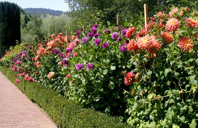 Dahlia Border At Filoli Gardens Svetlana I Flickr