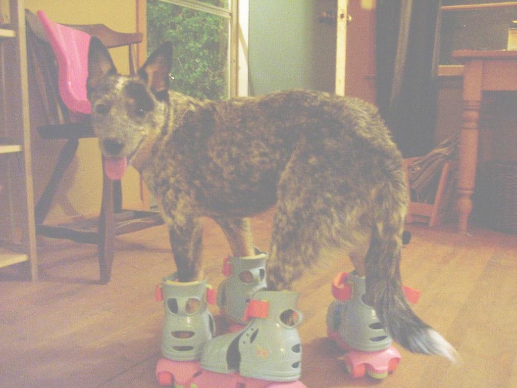Roller skates for dogs -  Dog On Roller Skates By Barriebarrie